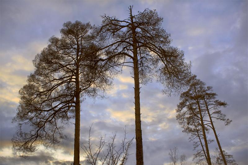 """фото """"Сухие сосны"""" метки: пейзаж, лес"""