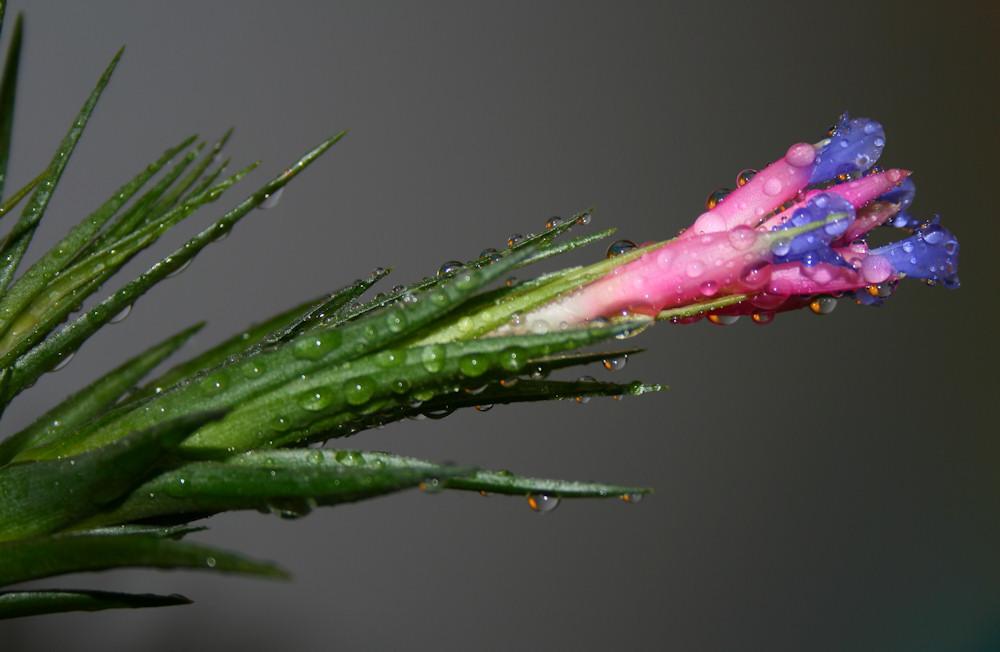 """фото """"Tillandsia aeranthos"""" метки: природа, макро и крупный план, цветы"""