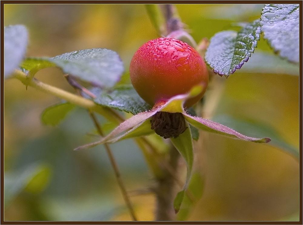 """фото """"Шиповник"""" метки: макро и крупный план, природа, цветы"""