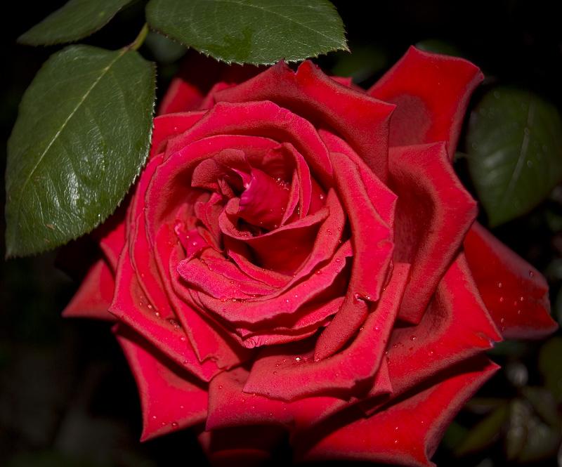 """фото """"Сибирские розы"""" метки: природа, цветы"""