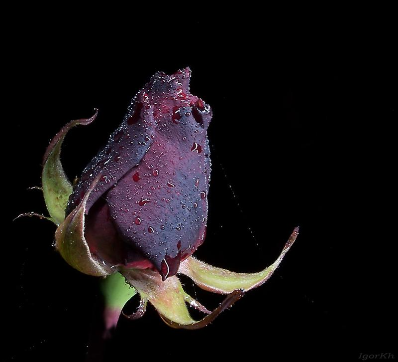 """фото """"Черная ночная"""" метки: природа, цветы"""