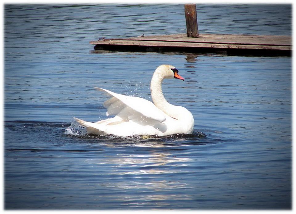 """фото """"Лебедь"""" метки: пейзаж, природа, вода, дикие животные"""