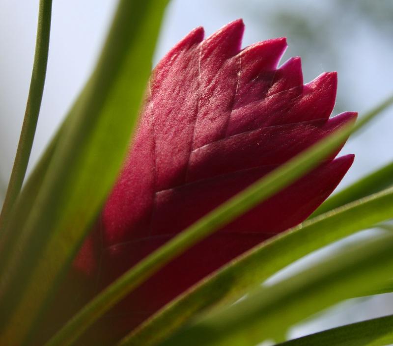 """фото """"Tillandsia Cyanea"""" метки: природа, макро и крупный план, цветы"""