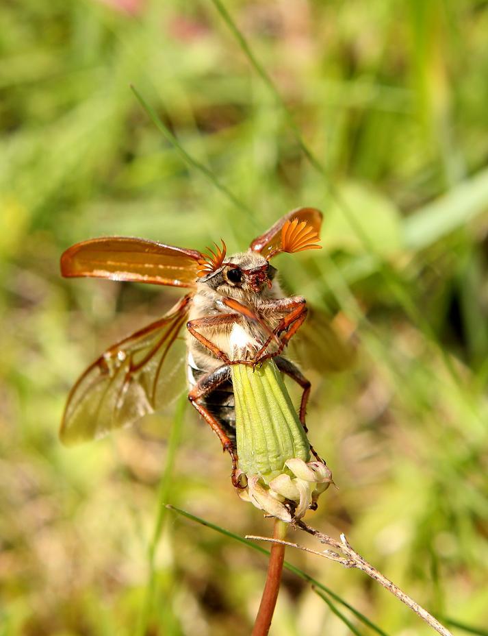 """фото """"бровки веером"""" метки: природа, макро и крупный план, насекомое"""