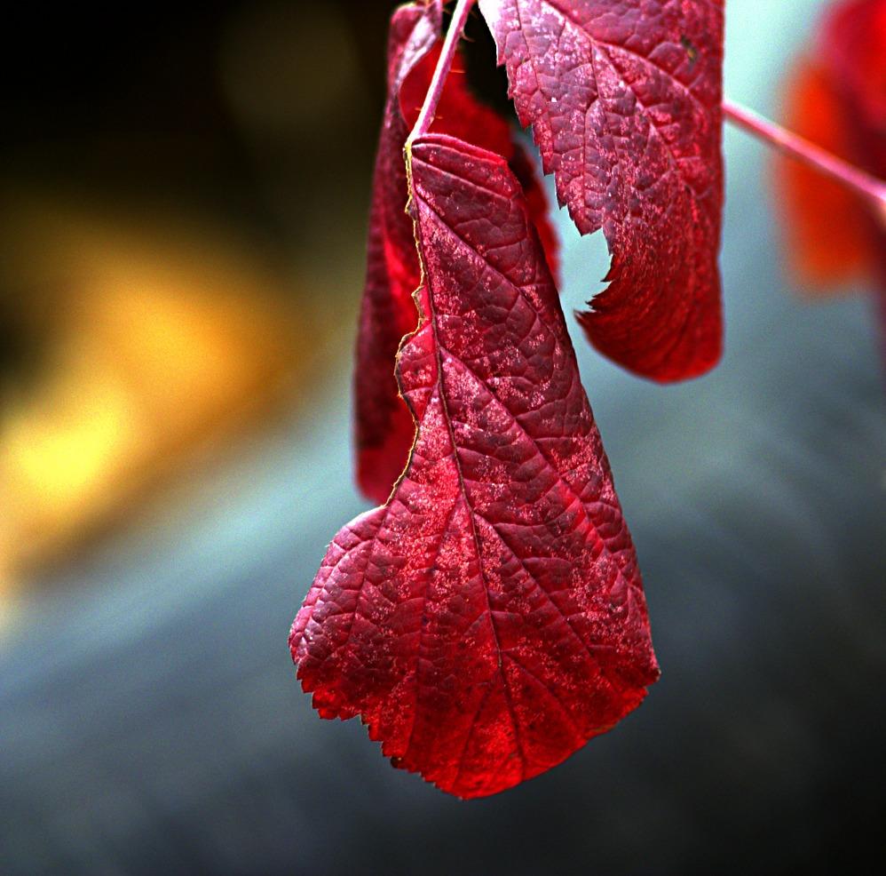"""фото """"Жар осени..."""" метки: природа, макро и крупный план, цветы"""