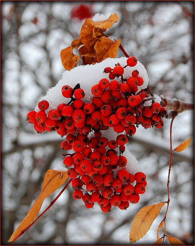 """фото """"В саду горит костер рябины красной..."""" метки: природа, пейзаж, осень, цветы"""
