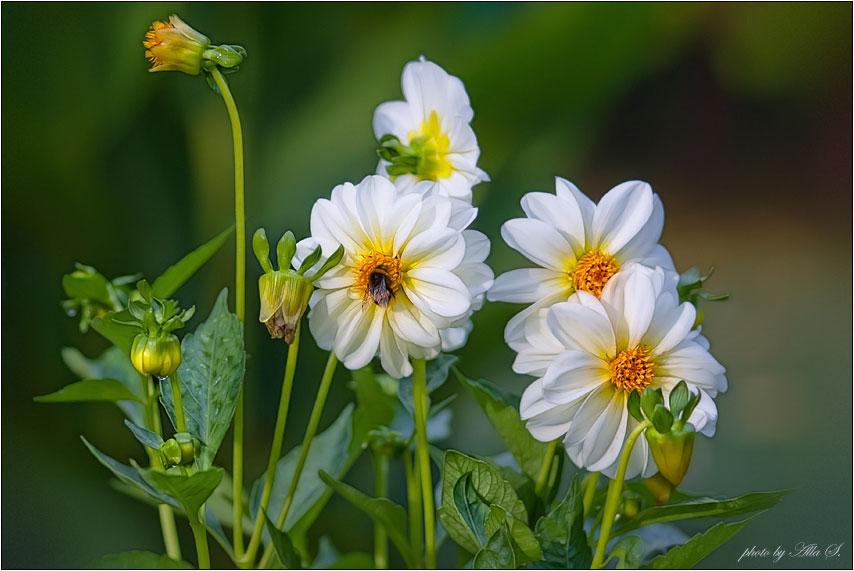 """фото """"Осенняя трапеза шмеля"""" метки: природа, насекомое, цветы"""