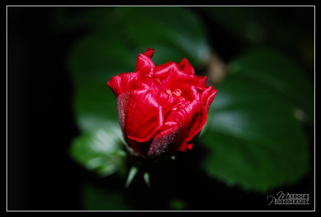 """фото """"BUD"""" метки: макро и крупный план, природа, цветы"""