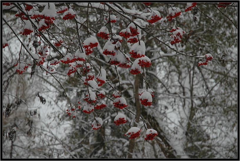 """фото """"рябина"""" метки: природа,"""