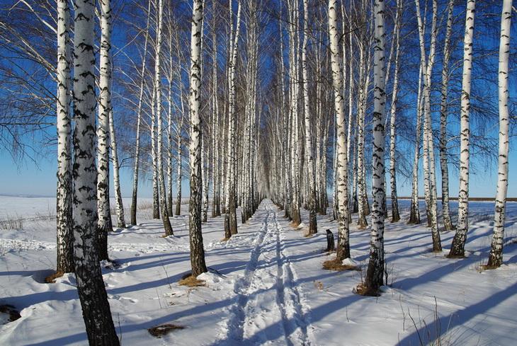 """фото """"березы"""" метки: пейзаж, зима"""