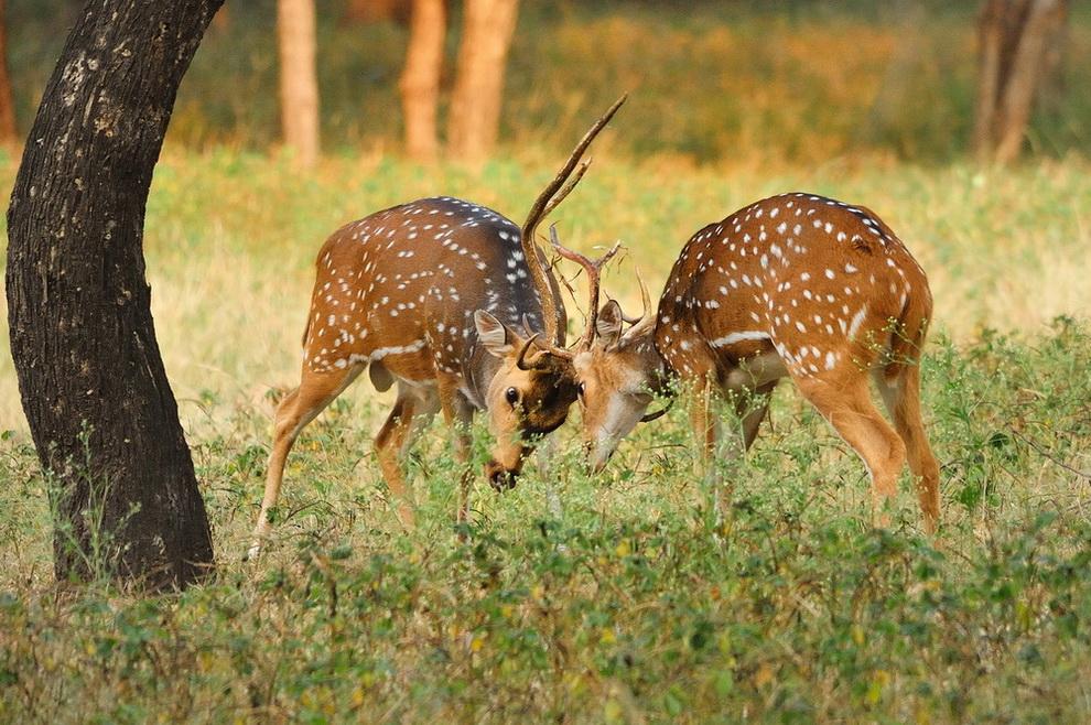 """фото """"Соперники"""" метки: природа, дикие животные"""