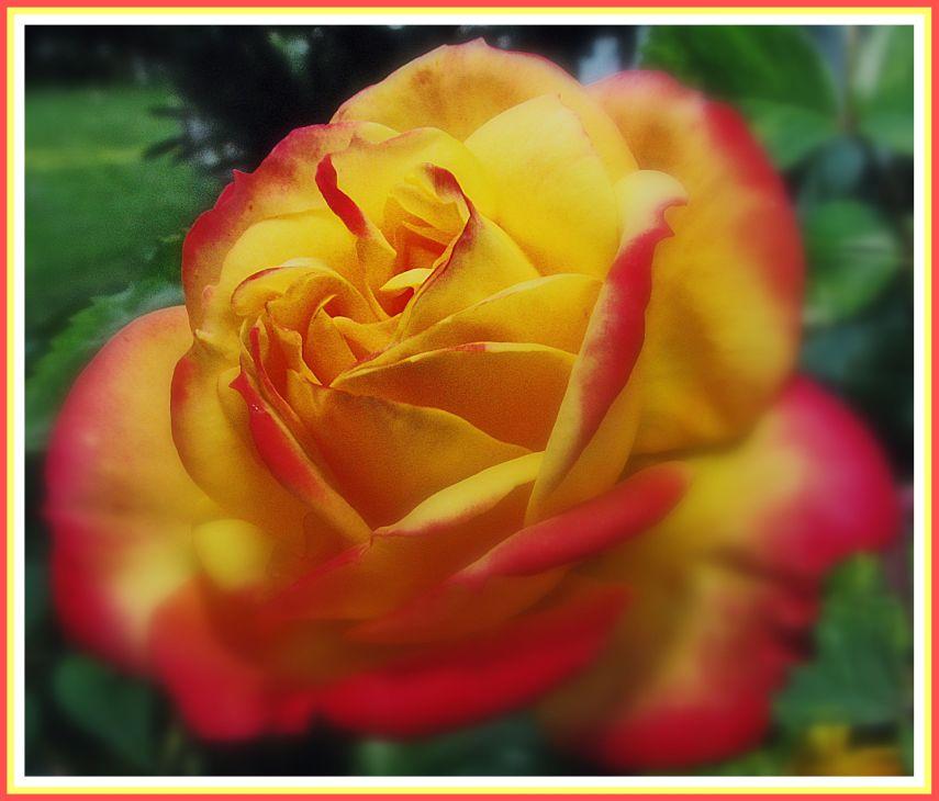 "фото ""The Rose"" метки: природа, цветы"
