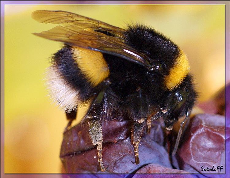 """фото """"Пушистик"""" метки: макро и крупный план, природа, насекомое"""
