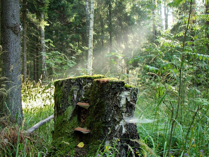 """фото """"Июльское утро"""" метки: пейзаж, лес"""