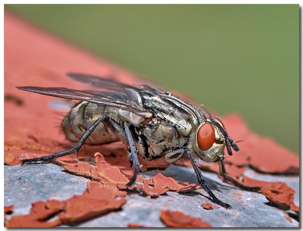 """фото """"муха"""" метки: макро и крупный план, природа, домашние животные"""