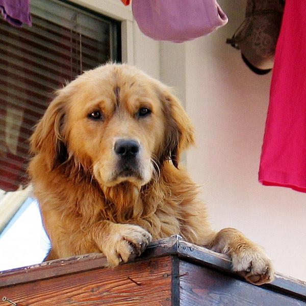 """фото """"Собачий интерес..."""" метки: природа, домашние животные"""