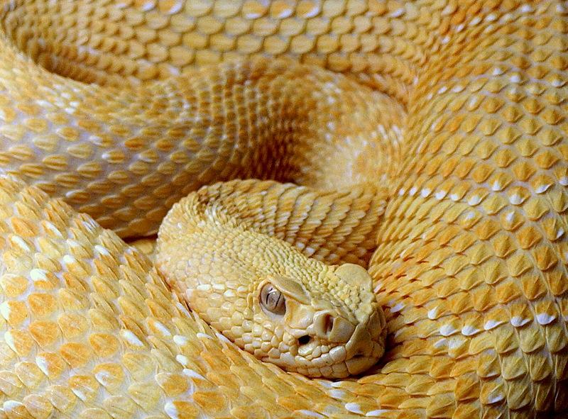 """фото """"Western Diamondback Rattlesnake-albino"""" метки: природа, дикие животные"""