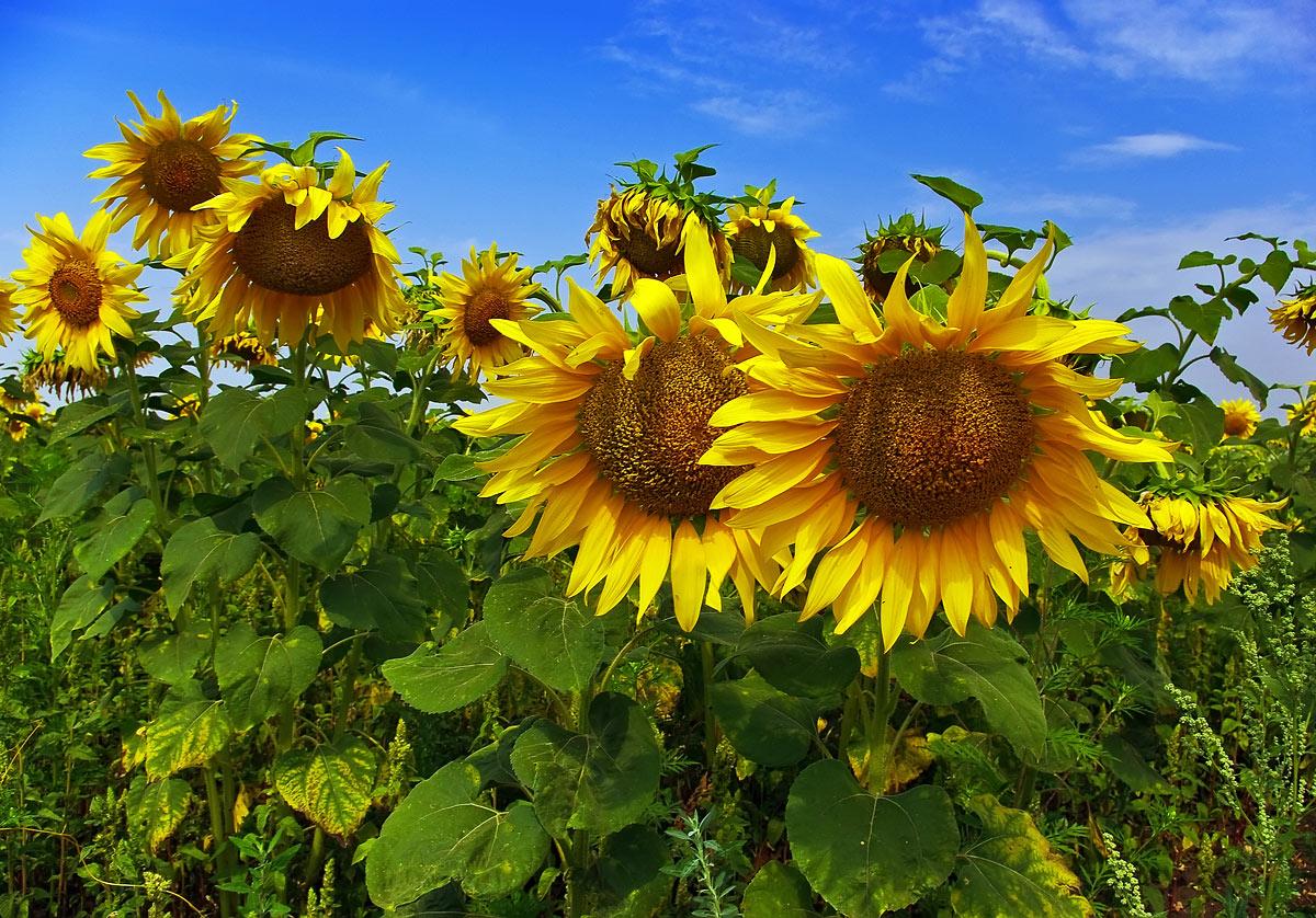 """фото """"Солнцем напоённые"""" метки: природа, цветы"""