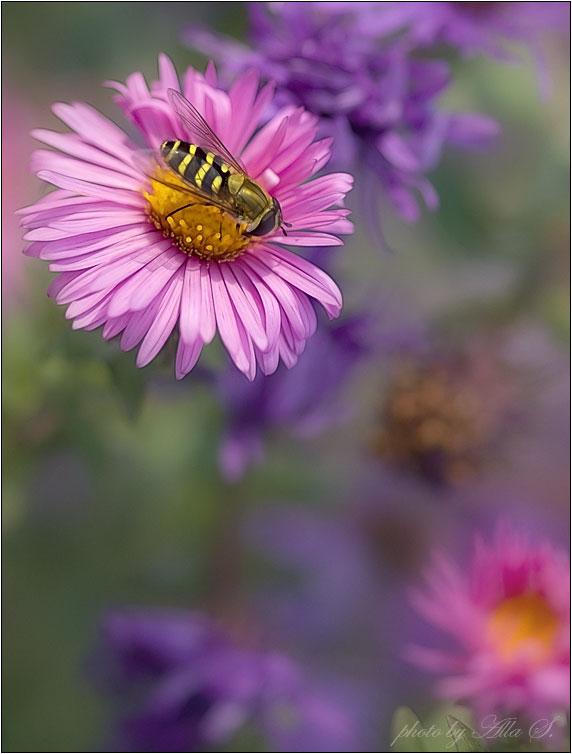 """фото """"Осенние вкусовые предпочтения журчалки"""" метки: природа, насекомое, цветы"""
