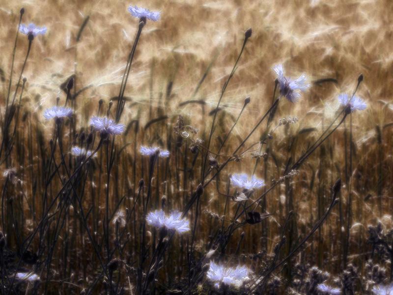 """фото """"Лазурь"""" метки: природа, цветы"""
