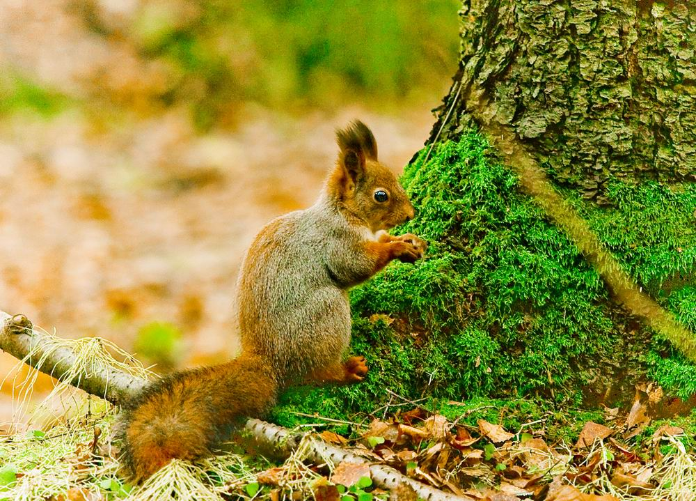 "фото ""белка"" метки: природа, дикие животные"