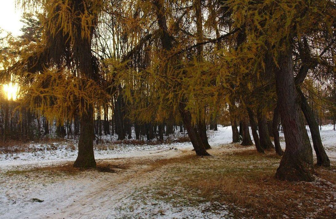 "фото ""тропинка между лиственниц"" метки: пейзаж, лес"