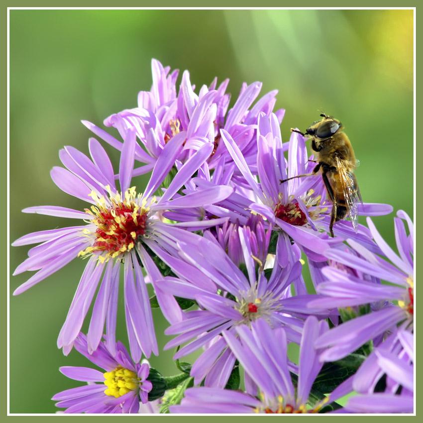 """фото """"Хризантемы"""" метки: природа, цветы"""