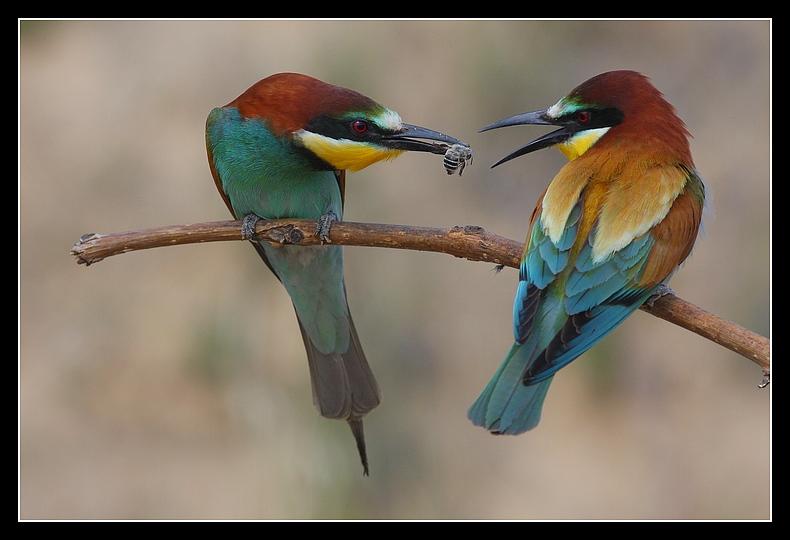 """фото """"beeeater"""" метки: природа, дикие животные"""