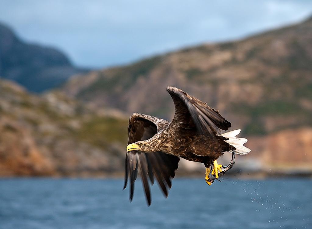 "фото ""White Tailed Eagles."" метки: природа, пейзаж, дикие животные, закат"
