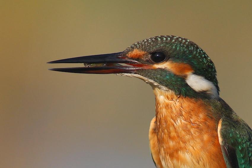 "фото ""kingfisher"" метки: природа, дикие животные"