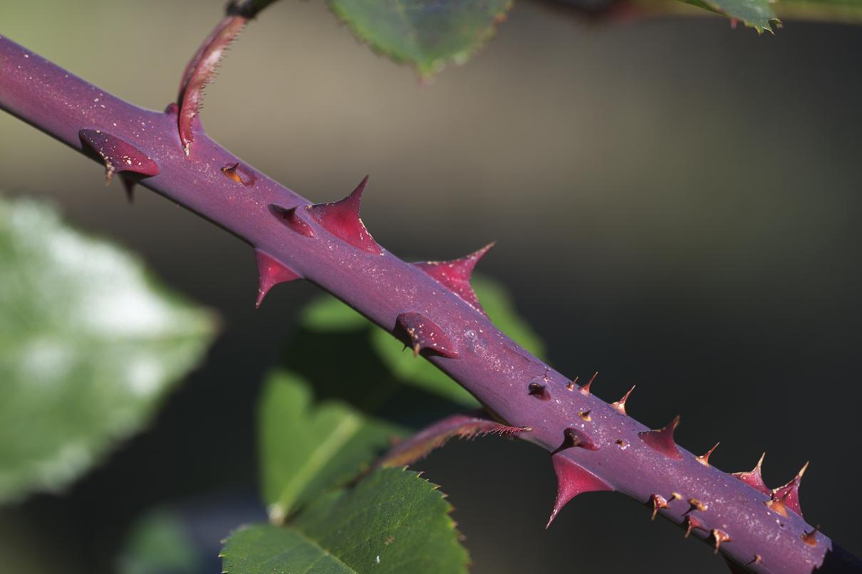 "фото ""maybe 28 thorns"" метки: природа, цветы"