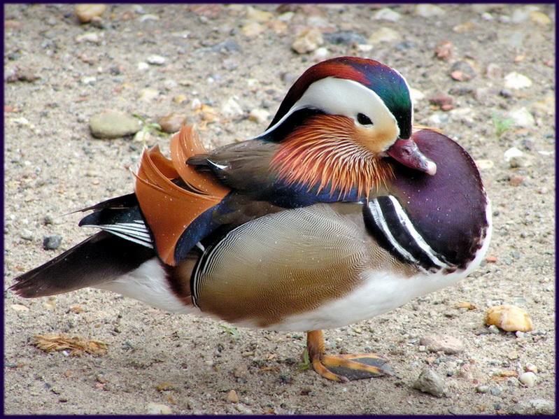 "фото ""Мандаринка"" метки: природа, дикие животные"
