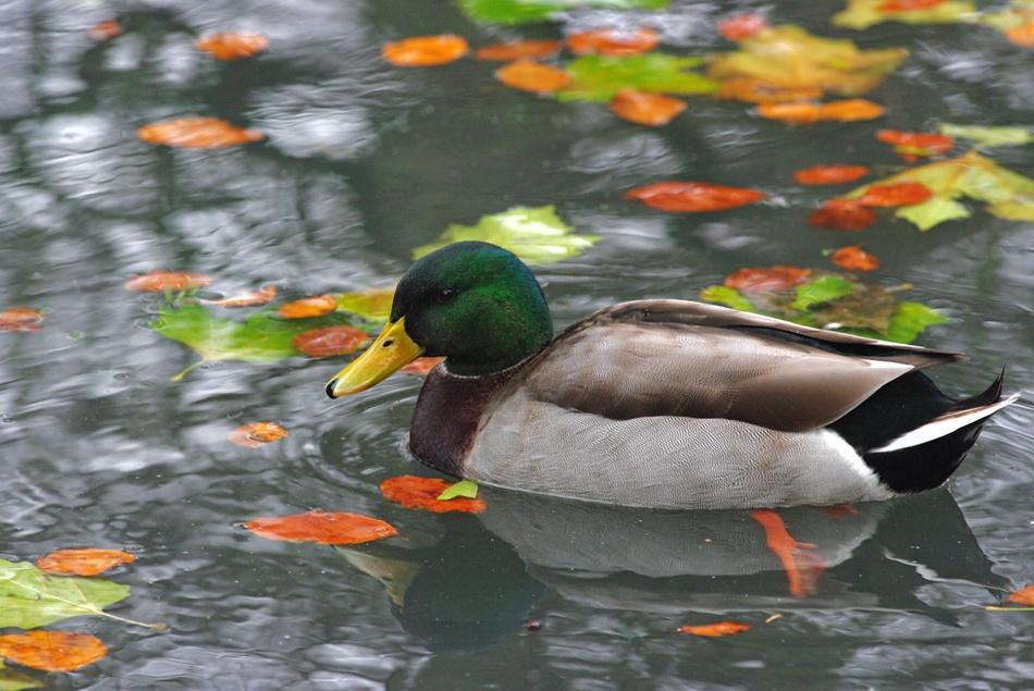 "фото ""The duck and the fall..."" метки: природа, дикие животные"
