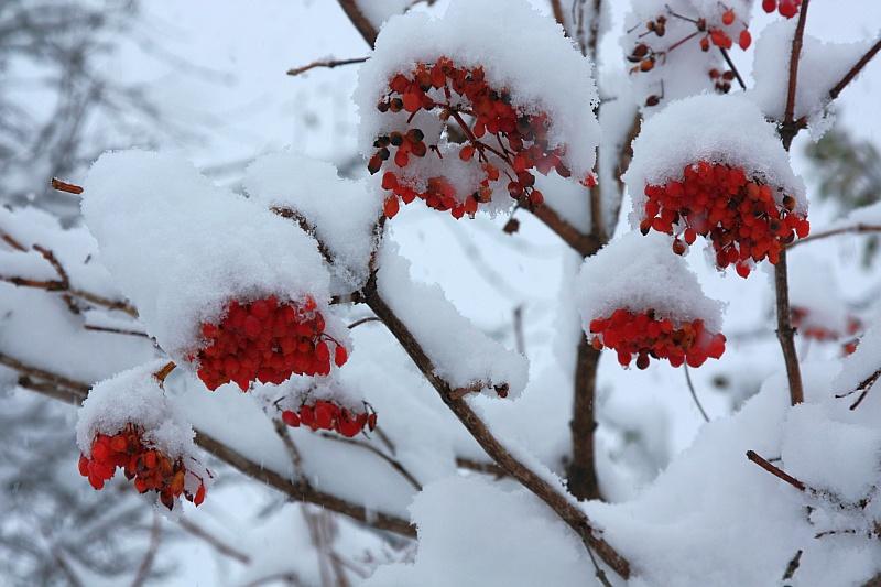 "фото ""Калина в снегу"" метки: природа, цветы"