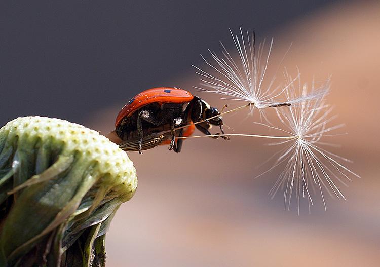 """фото """"Я б в десантники пошла - пусть меня научат!"""" метки: макро и крупный план, природа, насекомое"""