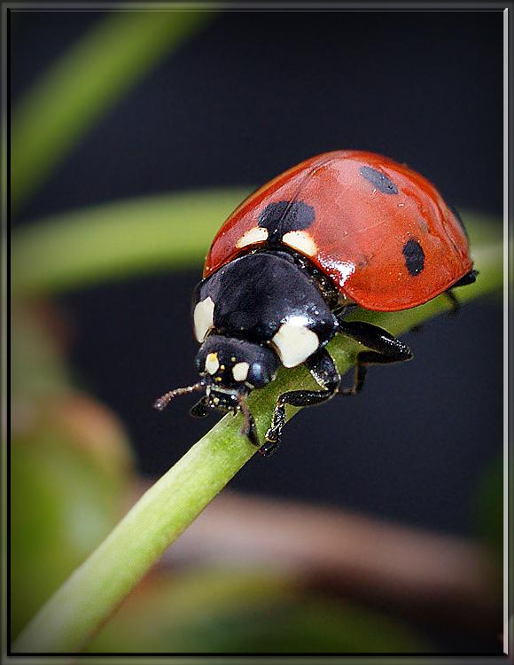 """фото """"Канатоходец"""" метки: макро и крупный план, природа, насекомое"""