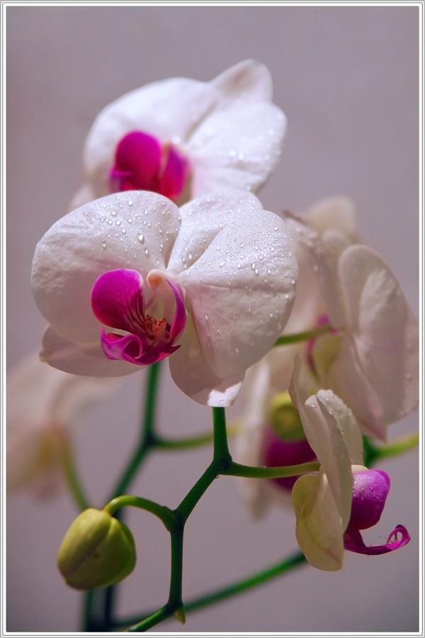 "фото ""Phalaenopsis"" метки: природа, цветы"