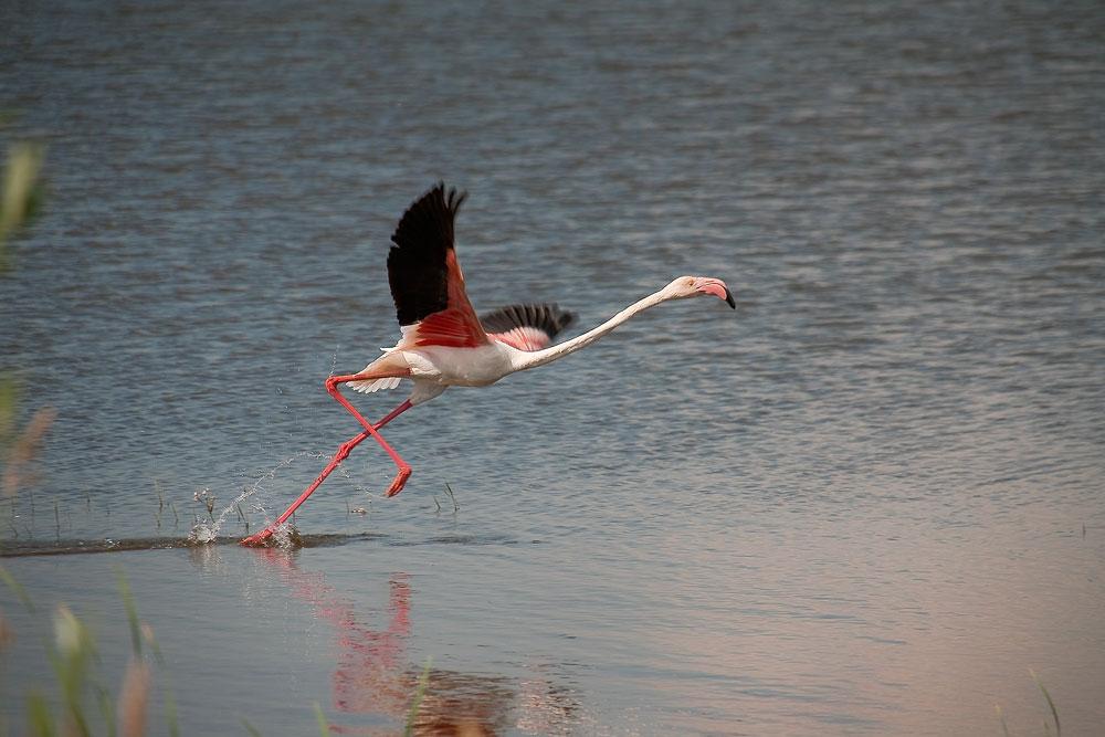"фото ""фламинго"" метки: природа, дикие животные"