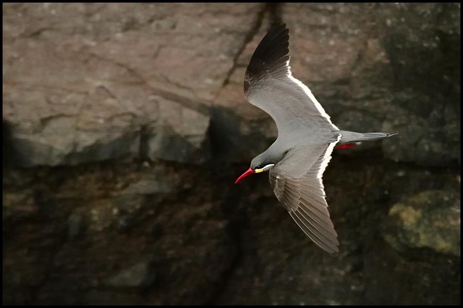 "фото ""inca tern"" метки: природа, дикие животные"