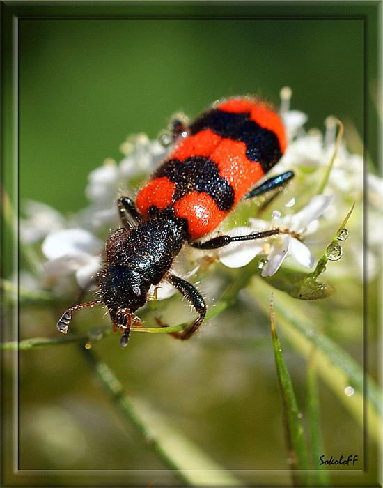 """фото """"Пчеложук"""" метки: макро и крупный план, природа, насекомое"""