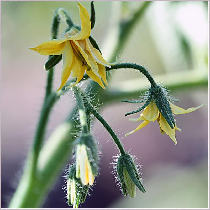 """фото """"Помидоры.  Рассада"""" метки: природа, макро и крупный план, цветы"""