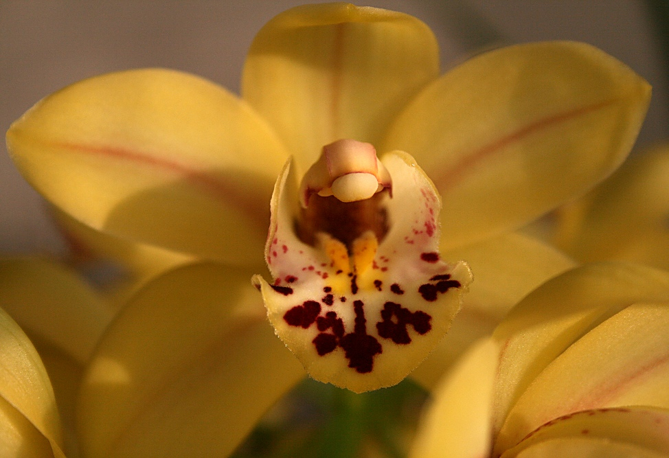 """фото """"Orchids #2"""" метки: природа, макро и крупный план, цветы"""