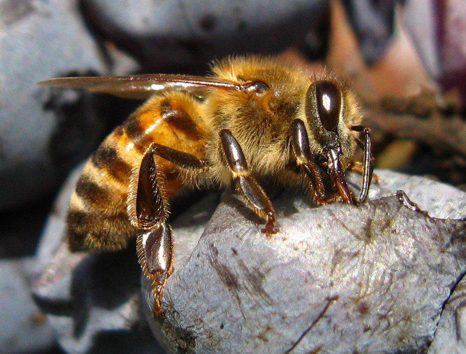 """фото """"honey or wine"""" метки: макро и крупный план,"""