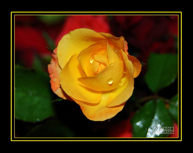 "фото ""ROJA"" метки: природа, цветы"