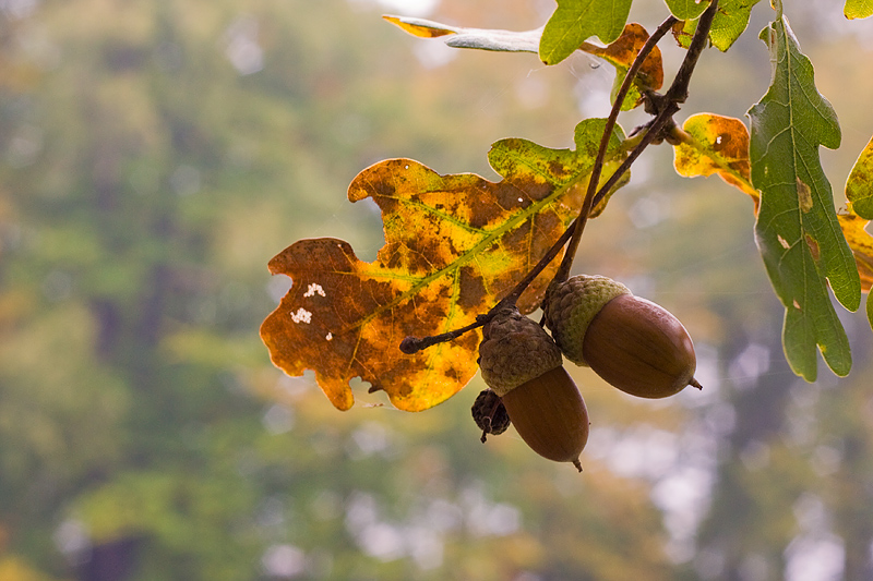 ценят картинки осени листья орехи желуди тучка дождь грибы любит собак