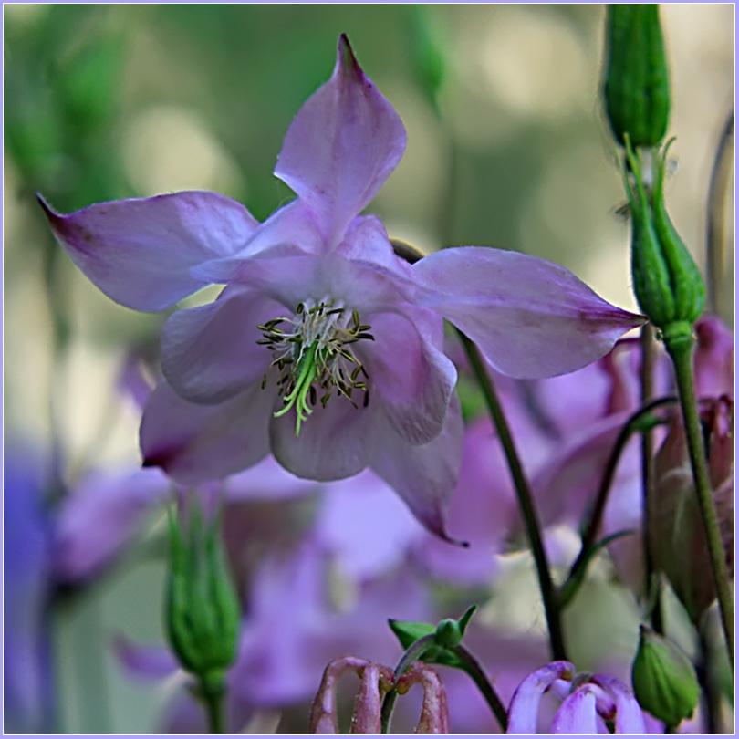 """фото """"Цветы из моего сада"""" метки: природа, цветы"""