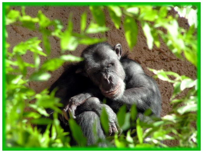 """фото """"Предок устал, предок спит :)"""" метки: портрет, природа, дикие животные"""