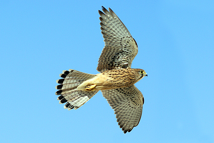 "photo ""птицы,небо,сокол"" tags: nature, wild animals"