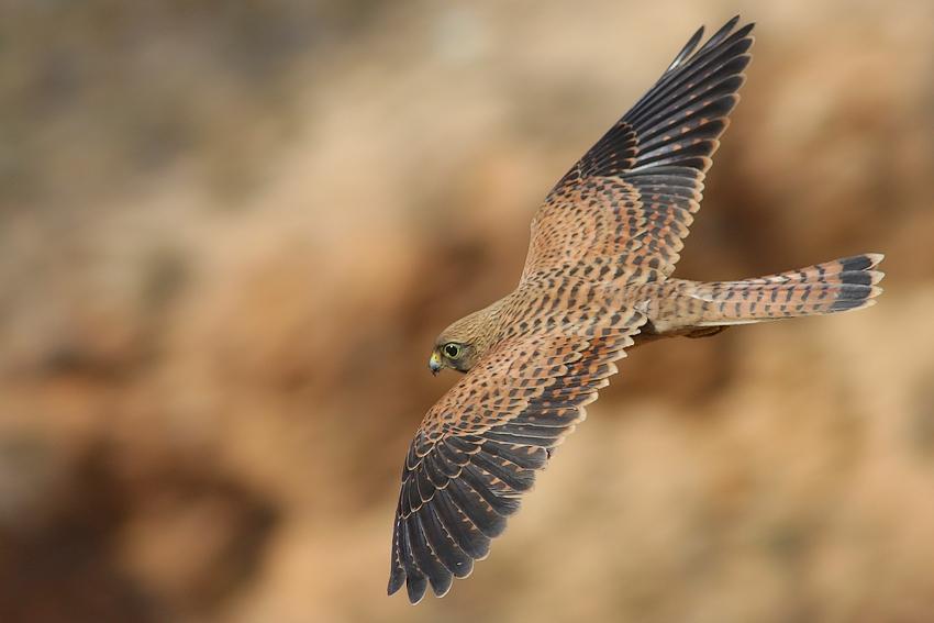 """фото """"Falco tinnunculus"""" метки: ,"""