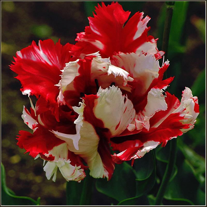 """фото """"Тюльпан-петух"""" метки: природа, цветы"""